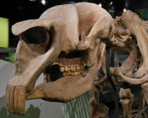 Diprotodon skull.