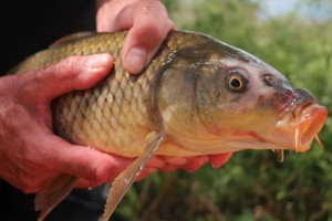 captured carp