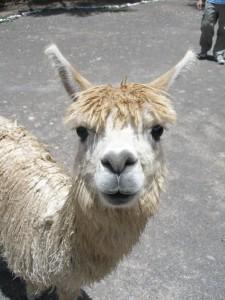 Llama-768x1024 (1)