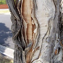 The broad-leaved paperbark tree