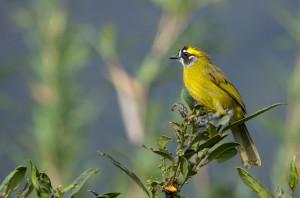 Sri Lanka Yellow Eared Bulbul  Picture credit - Rukmal Ratnayake