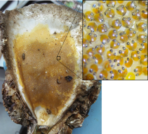 Fish lay their eggs inside dead oyster shells Photo credit Dominic Mcafee