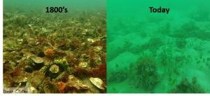 What the Gulf St. Vincent seafloor probably looked like in the 1800's, and what the restoration site looks like today. Image on left is the last remaining flat oyster reef in Australia (Photo credit: C. Gillies)