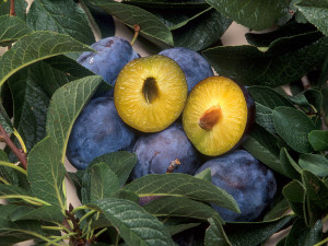 Plums genetically engineered for resistance to plum pox, a disease carried by aphids.