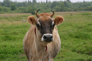 dairy cow with horns