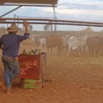 Farmer with cattle in the outback