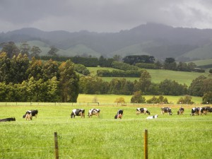 Australian dairy farms promising high potentials (Picture taken in Victoria)