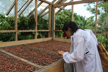 Looking at cacao beans.