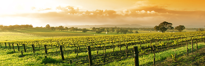 Vineyard in the Barossa Valley