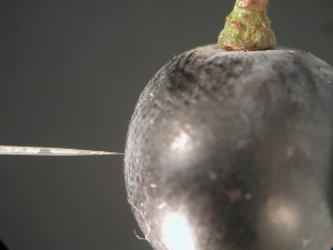 Miniature oxygen probe measuring oxygen in a Shiraz grape.   Image: The University of Adelaide