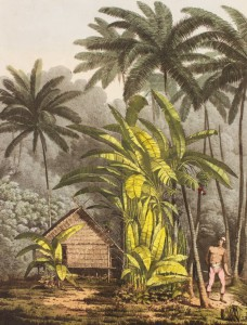 plantain_tree_cracatoa_2