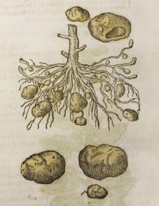 """Virginian potato"""