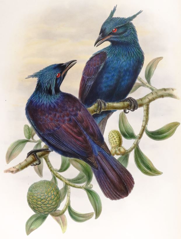 Monograph of the Paradiseidae, or birds of paradise and