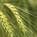 barley-optimised-for-web