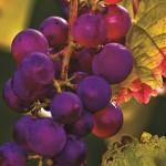 grapes lo res